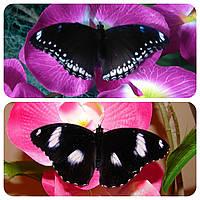 Живая тропическая бабочка Hypolimnas bolina.