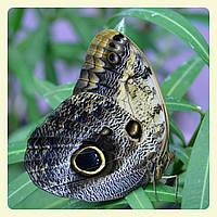 Живая тропическая бабочка Caligo memnon.