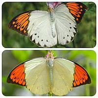 Живая тропическая бабочка Hebomoia glaucippe.