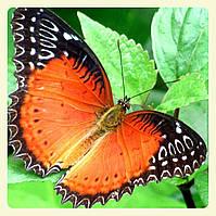 Живая тропическая бабочка Cethosia biblis.