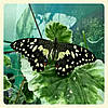 Живая тропическая бабочка Papilio demoleus.