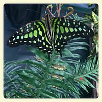 Живая тропическая бабочка Graphium agamemnon.