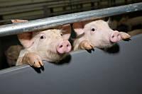 Выбираем кормушку для свиней - основные виды и характеристики