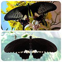 Живая тропическая бабочка Papilio polytes.