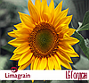 Подсолнечник Limagrain LG Голдсан Среднеранний  2017 г.