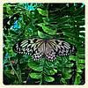 Живая тропическая бабочка Idea leuconoe.