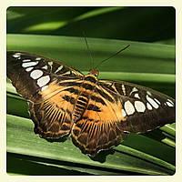 Живая тропическая бабочка Parthenos sylvia.