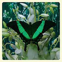 Живая тропическая бабочка Papilio palinurus.