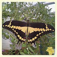 Живая тропическая бабочка Papilio thoas.