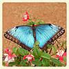 Живая тропическая бабочка Morpho peleides.