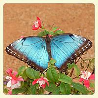 Живая тропическая бабочка Morpho peleides., фото 1