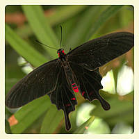 Живая тропическая бабочка Pachliopta kotzebuea.