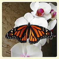 Живая тропическая бабочка Danaus plexippus.