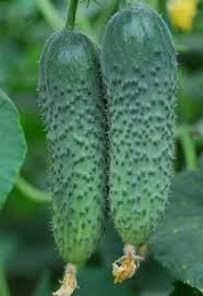 Семена огурца Амур F1 10 семян Bejo Самоопыляемый