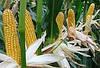 Семена кукурузы Солонянський 298 СВ, фото 2