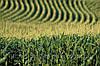 Семена кукурузы Солонянський 298 СВ, фото 3