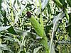 Семена кукурузы Солонянський 298 СВ, фото 4