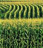 Семена кукурузы Солонянський 298 СВ, фото 5