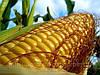 Семена кукурузы Днепровський 181СВ, фото 2