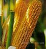 Семена кукурузы Днепровський 181СВ, фото 5