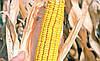 Семена кукурузы Любава 279 МВ, фото 3