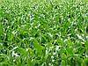 Семена кукурузы Любава 279 МВ, фото 5