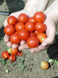 Семена Томата Церазо F1 (Ceraso F1) 1000 семян Seminis
