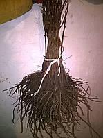 Айва подвой для груши, айвы 2-3 грн, от 500 шт