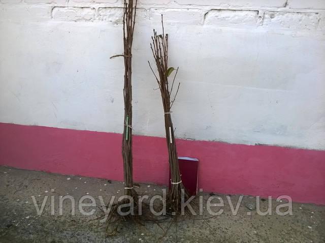 Подвой вегетативный черешня вишня Кольт, Гизела, ВСЛ, окулировка зимняя, летняя, вишня магалебская, антипка, карлик, полукарлик