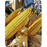 Кукуруза ФРУКТИС ФАО 330. Высокоурожайный, стабильный простой (140ц/га). Оригинатор- ЕВРАЛИС СЕМЕНС