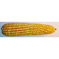Оржиця 237 МВ (ФАО -240) 1000 зёрен 280-290 г, Урожайность 11,0-12,0 т/га, пр-ва Агросфера, 2015г.