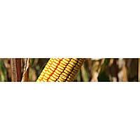 Яровец 243 МВ (ФАО -240) 1000 зёрен 280-300 г, Урожайность 11,0-12,0 т/га, пр-ва Агросфера, 2015г.