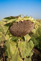 Семена подсолнечника сорт Мастер