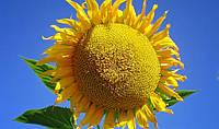 Семена подсолнечника сорт Флагман