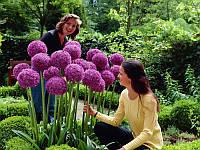 Аллиум Гигантский фиолетовый (Allium giganteum)
