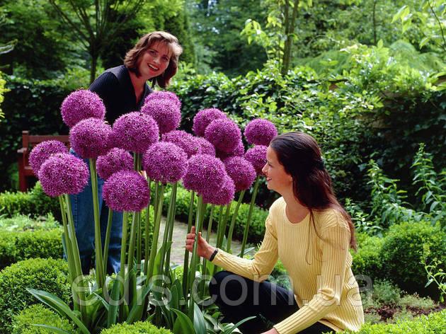 Аллиум Гигантский фиолетовый (лук декоративный) 1 луковица 18/20, фото 2