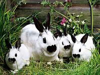 Искусственное осеменение  кроликов