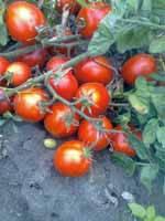 Семена томата Лагидный весом 50 грамм, фото 1