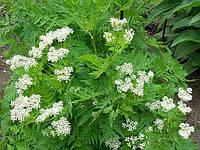 Семена Аниса однолетнего ароматного лекарственного для приготовления отваров, настоек, сиропов и употребления