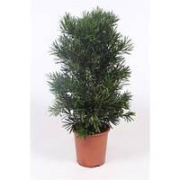 Крупномеры Bonasi Podocarpus Macrophylla, 27, Бонсай, 100