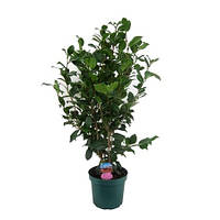 Крупномеры Camellia Japonica, 24, Камелия, 100