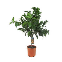 Крупномеры Citrus Arancia On Stem, 21, Цитрус, 100