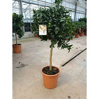 Крупномеры Citrus Kumquat On Stem, 24, Цитрус, 100