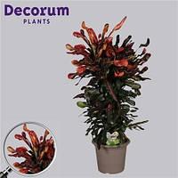 Крупномеры Codiaeum Mammi Branched In Deco Pot, 25, Кротон, 100