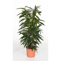 Крупномеры Ficus Bin Alli King Zuil, 24, Фикус, 100