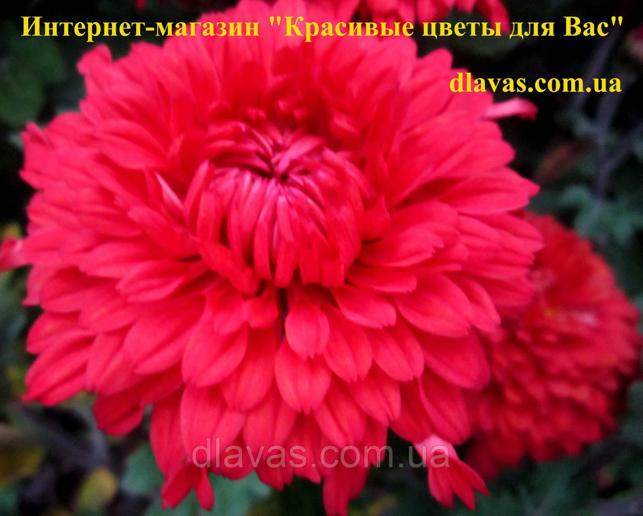 Хризантема корейская Ламбада
