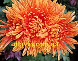 Хризантема корейська держак Осіннє Рандеву оранж., фото 2