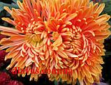 Хризантема корейська держак Осіннє Рандеву оранж., фото 3
