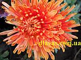Хризантема корейська держак Осіннє Рандеву оранж., фото 4