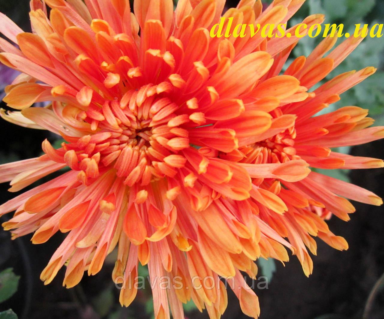 Хризантема корейська держак Осіннє Рандеву оранж.
